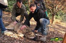 Quatre exemplars de llop gris arriben al parc de fauna d'Aran