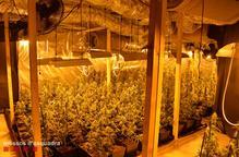 Detinguts dos homes per cultivar més de 1.300 plantes de marihuana en una finca de les Basses d'Alpicat