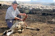 Tercer atac dels gossos salvatges contra un ramat d'ovelles a Seròs