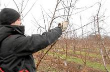 Els agricultors intensifiquen els treballs de poda de fruiters