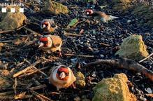 ⏯️ Denunciades onze persones per capturar ocells silvestres protegits a la Noguera