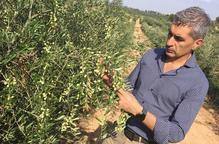 Grup Pons avança vint dies la collita d'olives per a un oli gourmet