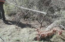 Rescaten un cérvol atrapat en una tanca a l'Alt Urgell
