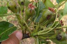 La calamarsada de diumenge danya fruiters en més de 5.700 hectàrees