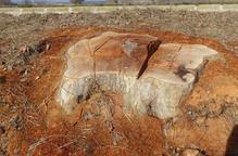 Estudien denunciar el Canal d'Urgell per la tala d'arbres a Agramunt