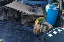 Denuncien dos caçadors per repoblar conills