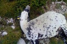Denuncien més de 50 ovelles mortes pel llop a Odèn