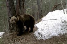 Nou atac de l'ós Goiat a Aran, que devora una altra ovella dins d'un camp clos