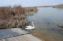Alliberat a l'estany un cigne cantaire poc vist a Catalunya