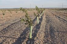 El Grup Borges suma gairebé 160 hectàrees de pistatxos
