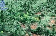 ⏯️ Cau un grup de cultiu i tràfic de marihuana a gran escala