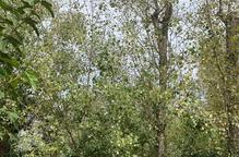 Campanya veïnal per evitar la tala d'arbres 'històrics' a Puigverd de Lleida