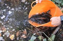 Lliures més de mil peixos autòctons a Alguaire