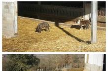 Dos gossos deslligats maten diverses ovelles al Solsonès