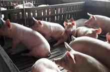 JARC proposa unir esforços del sector porcí i les administracions contra la pesta africana