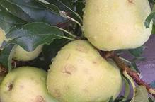 153 hectàrees de pera i poma afectades per la tempesta d'ahir al Pla d'Urgell