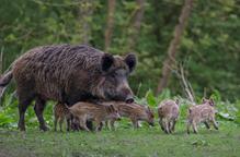 El primer cas de pesta porcina detectat a Alemanya posa en alerta el sector lleidatà