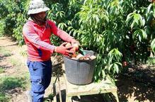 El sector de la fruita veu difícil cobrir la mà d'obra necessària per a la campanya agrària