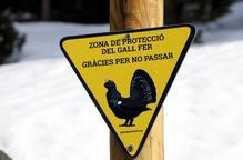 La tranquil·litat del confinament farà que sigui un bon any de cria del gall fer segons experts