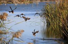 El nombre d'ocells aquàtics hivernants a la demarcació de Lleida disminueix en 1.250 exemplars