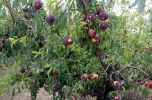 La fruita de pinyol del Baix Segrià afectada per la pedregada d'aquest dimarts