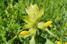 Pla de detall de 'Rhinanthus alectorolophus', la planta vinculada als prats de dall que s'ha localitat al Parc Natural de l'Alt Pirineu i al del Cadí-Moixeró