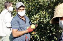Pla mitjà on es pot veure al responsable de la fruita dolça d'UP, Bernat Ramon, collint fruita amb dos temporers en una finca de Penelles