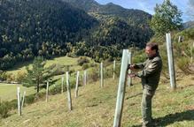 Plantaran 7.000 arbres fruiters entre el Pallars Sobirà i la Val d'Aran per restaurar l'hàbitat de l'os bru