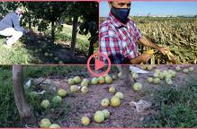 ⏯️ Les ventades provoquen importants danys a cultius i fruita tardana de Ponent