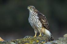 Confirmat al Segrià un cas de virus del Nil Occidental en un ocell rapinyaire