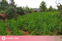 Els Mossos desmantellen una plantació de marihuana a l'Albagés