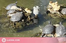 Retiren 12 tortugues del Palau d'Anglesola