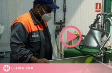 Les Garrigues comencen a produir el primer oli verd de la temporada