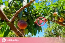 ⏯️ Comença la collita del préssec i la nectarina al Baix Segre