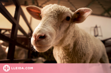 Catalunya posarà en marxa el primer escorxador mòbil de l'Estat per a petits productors d'oví i cabrum