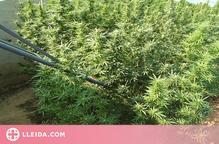 Detingut per una plantació de més de 250 plantes de marihuana en una finca d'un municipi de Tornabous