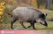 Detectats tres nous casos de triquinosi en carn de porc senglar procedent de l'Alt Urgell