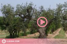 ⏯️ L'IRTA identifica tretze noves varietats locals d'olivera al Pallars Jussà