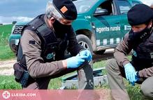 Denunciat per enverinar i matar fauna salvatge en un vedat de caça a l'Urgell