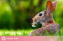 """Una plaga de conills """"agressius"""" malmet els cultius d'un poble de Lleida"""