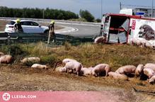 Diversos animals morts i un conductor ferit lleu al Segrià en bolcar un camió que transportava porcs