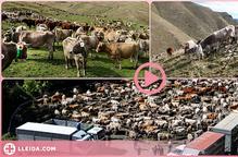 ⏯️ Uns 30 ramaders recullen les 1.200 vaques que han passat l'estiu a la muntanya de Llessui