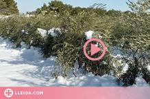 ⏯️ La nevada del temporal Filomena ha afectat unes 46.000 hectàrees d'oliveres