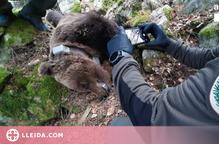 Les escoltes telefòniques per la mort de l'ós Cachou destapen la xarxa de tràfic de drogues a Vielha