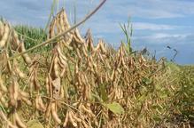 La UdL desenvolupa un projecte per fer viable la producció ecològica de soja a Catalunya