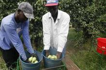 Alerten que la fruita pot quedar a l'arbre per falta de temporers