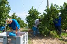 Afrucat crea una borsa de treball per gestionar sol·licituds de treball a la campanya de la fruita
