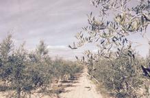 Junts per Catalunya celebra l'aprovació de la Llei de protecció de les oliveres monumentals