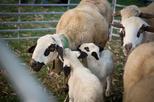 Fira de Sant Joan i xollada d'ovelles amb tisora