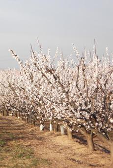 Pobles del Segrià s'apunten al turisme d'arbres en flor i Puigverd estrena ruta verda